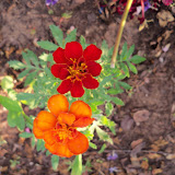 Gardening 2011 - 100_8038.JPG