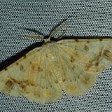 Geometridae : Geometrinae : Aeolochroma mniaria GOLDFINCH, 1929. Umina Beach (N. S. W., Australie), 1er janvier 2012. Photo : Barbara Kedzierski