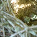Mockingbird eggs.