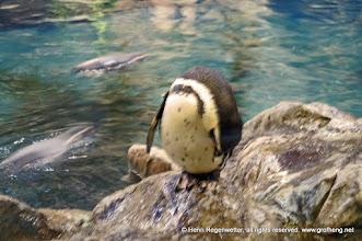 Photo: Sphehiscus demersus - Brillen - Pinguin