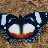 Hypolimnas dexithea (HEWITSON, 1863), endémique. Parc de Mantadia (Madagascar), 29 décembre 2013. Photo : T. Laugier