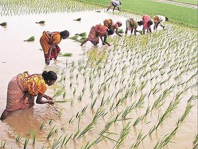 राजीव गांधी किसान न्याय योजना / 18 लाख किसानों के खाते में 350 रुपए क्विंटल की पहली किस्त 21 मई से आएगी