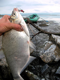 Flyfishing russia at the dike part 3 amur river near for White amur fish