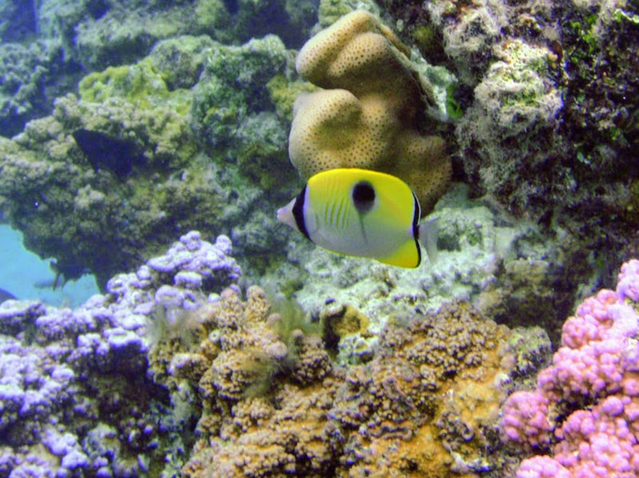 Holacanthus ciliaris (Queen Angelfish) near Tranquility Bay Resort.