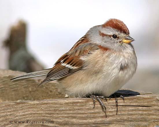 American Tree Sparrow (Karl Egressy)