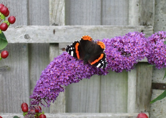[Red+Admiral+2%5B3%5D]