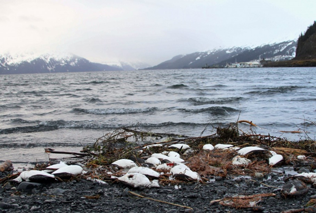 In this 7 January 2016 photo, dead common murres lie washed up on a rocky beach in Whittier, Alaska. Federal scientists in Alaska are looking for the cause of a massive die-off of one of the Arctic's most abundant seabirds. Photo: Mark Thiessen / AP