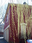 Weeping willow and brick