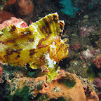 Yellow leaffish at US Liberty wreck (Tulamben, Bali)