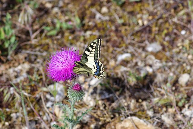 Papilio machaon L., 1758. Plateau de Coupon (511 m), Viens (Vaucluse), 8 mai 2014. Photo : J.-M. Gayman