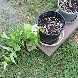 Gardening 2012 - IMG_3533.JPG