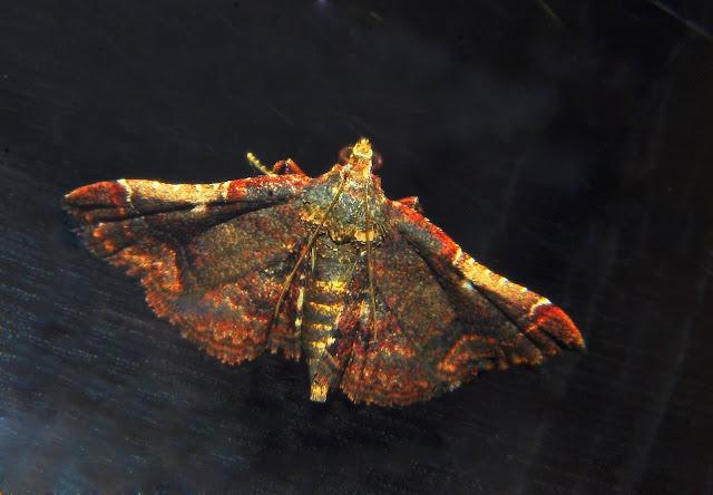 Pyralidae : Pyralinae : peut-être Persicoptera compsopa MEYRICK, 1887. Umina Beach (NSW, Australie), 3 mai 2011. Photo : Barbara Kedzierski