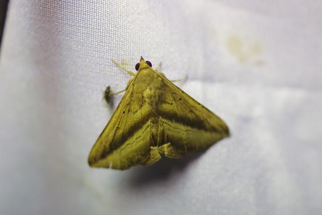 Erebidae : Lesmone duplicans (Möschler, 1880). Santa María en Boyacá, 1120 m (Boyacá, Colombie), 2 novembre 2015. Photo : J.-M. Gayman