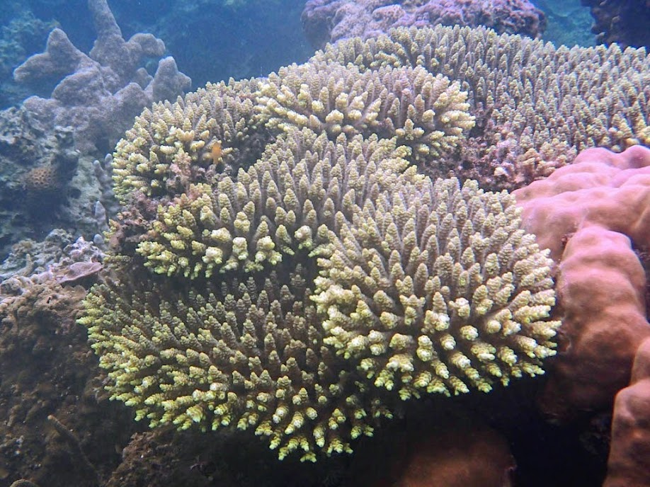 Acropora sp. Sand Island, Palawan, Philippines.