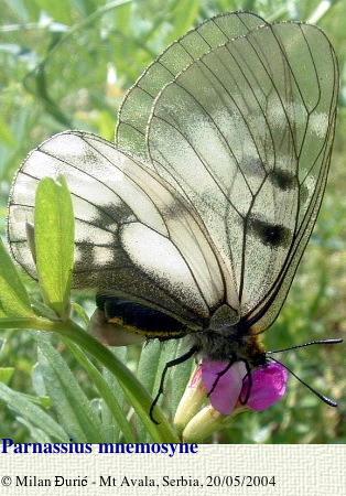 Parnassius (Driopa) mnemosyne craspedontis FRUHSTORFER, 1908. Mont Avala (500 m), Serbie, 25 mai 2004. Photo : Milan Djuric