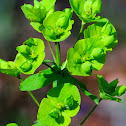 Wood spurge; Lechetrezna de bosque