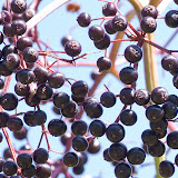 elderberries_MG_8827-copy.jpg