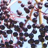 elderberries_MG_8827-copy.jpg
