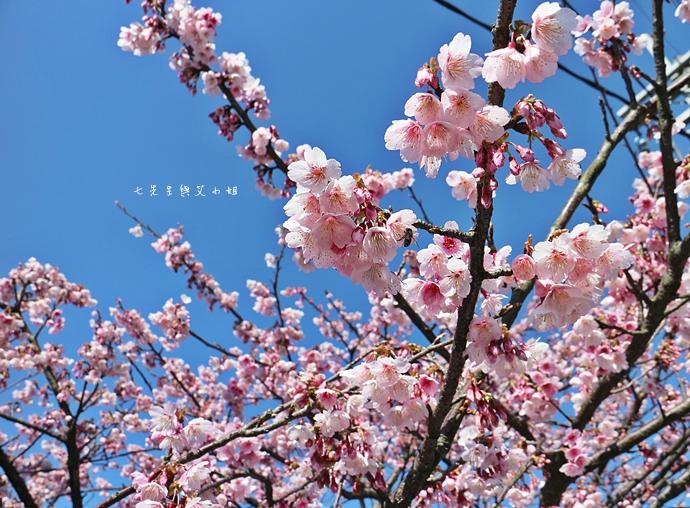 24 平菁街42巷櫻花