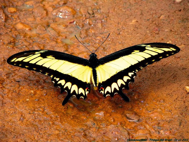 Heraclides astyalus astyalus (GODART, 1819) (= Papilio lycophron lycophron HÜBNER, 1818), mâle. Pitangui (MG, Brésil), 1er décembre 2013. Photo : Nicodemos Rosa