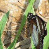 Hypolimnas misippus LINNAEUS, 1764. Cayenne, au sommet de la colline du Fort Cépérou, 3 décembre 2011. Photo : J.-P. Decroo