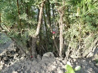 Bylica boże drzewko podstawy łodyg Artemisia abrotanum