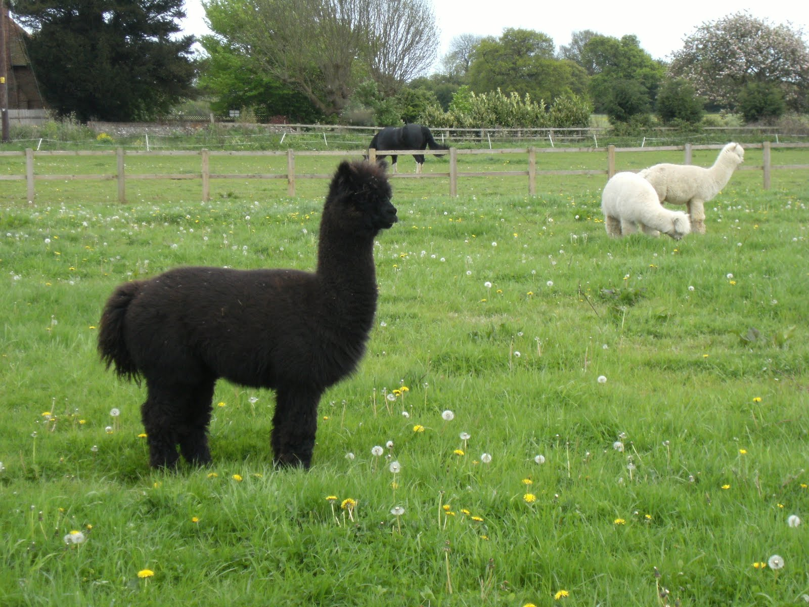 1005150007 More alpacas at Dungrove Farm