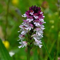 Orchis ustulata - ( La Vall Fosca)3