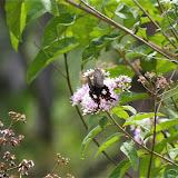 Papilio polytes LINNAEUS, 1758, femelle f. cyrus. Cang Shan (2400 m) au-dessus de Xizhou (Yunnan), 6 août 2010. Photo : J.-M. Gayman