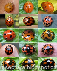 a a Variable Ladybird_Coelophora inaequalis
