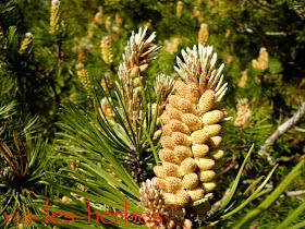 pinus nigra pollen.jpg