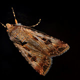 Noctuidae : Noctuinae : Agrotis munda WALKER, 1857. Umina Beach (NSW, Australie), 27 septembre 2011. Photo : Barbara Kedzierski