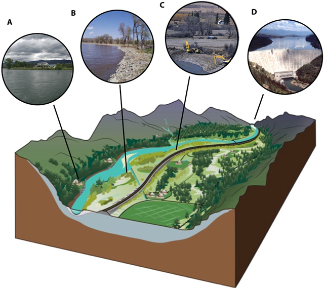The gravel-bed river floodplain as affected by human structures. (A to D) Illustration shows the loss of floodplain natural complexity as a result of human infrastructure shoreline housing and transportation corridor (A), rip-rap as a bank-hardening structure (B), geomorphic modification of levee construction (C), and a dam at the top of the floodplain (D). Note that, in this cutaway view, the hyporheic zone is highly reduced and modified from that shown in Figs. 2 and 5 as the river is converted into a functional single-thread river with little cut-and-fill alluviation across the floodplain. This results in the loss of highly sorted, open-network cobble substrata and further loss of the interstitial flow pathways of the hyporheic zone. When modified, most ecosystem components illustrated in Fig. 5 are significantly reduced or eliminated from the floodplain system. Graphic: E. Harrington