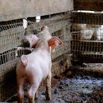 Piglet at Rio Muchacho