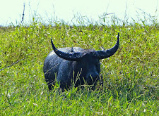 A buffalo in the swamps, covered in mud. This bull is irritated at our presence.