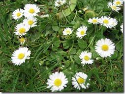 margaritas flores (24)