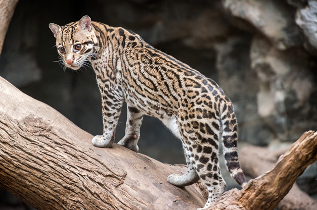 An ocelot at the Franklin Park Zoo, Boston, Massachusetts, 24 December 2015. The ocelot is listed as Endangered under the Endangered Species Act although it remains in Texas and Arizona. Populations of ocelots in northeastern Mexico and Texas have experienced declines and genetic isolation. The number of wild ocelots in Texas is between 50 and 80 animals. Photo: Eric Kilby