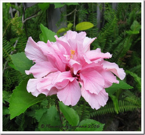 04-29-pink-hibiscus