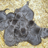 SofiaCobaltBlueS11010Litter