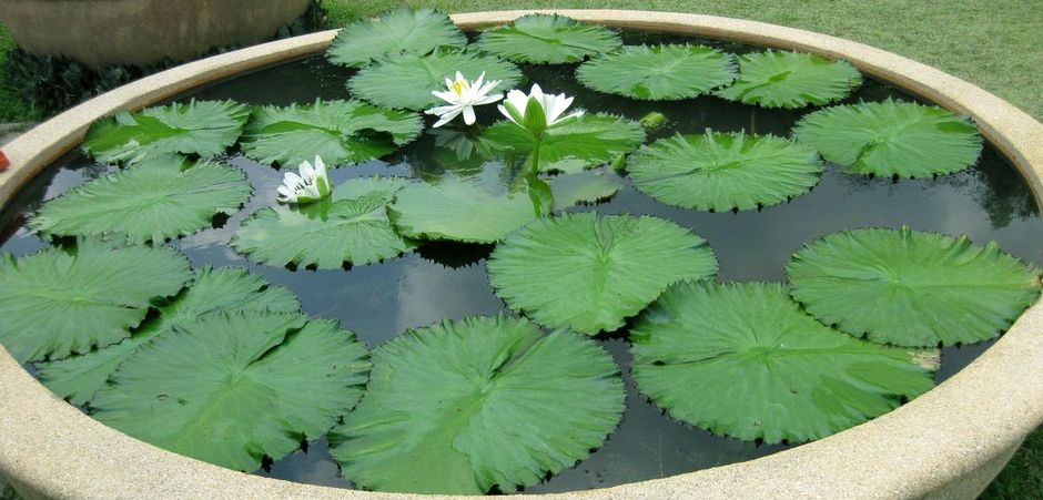 Нимфея (Кувшинка тигровая) (Nymphaea lotus)