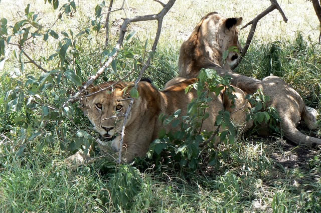 Serengeti National Park - lions