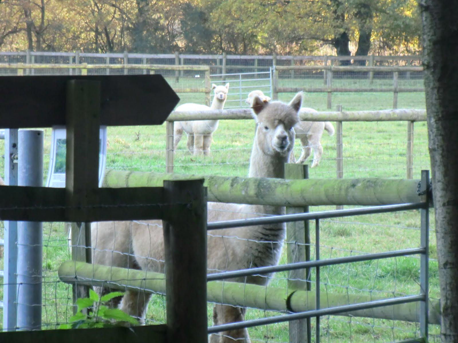 CIMG4935 Inquisitive alpaca