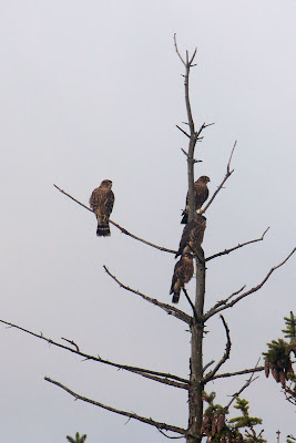 Kestrel family, Beulah Michigan