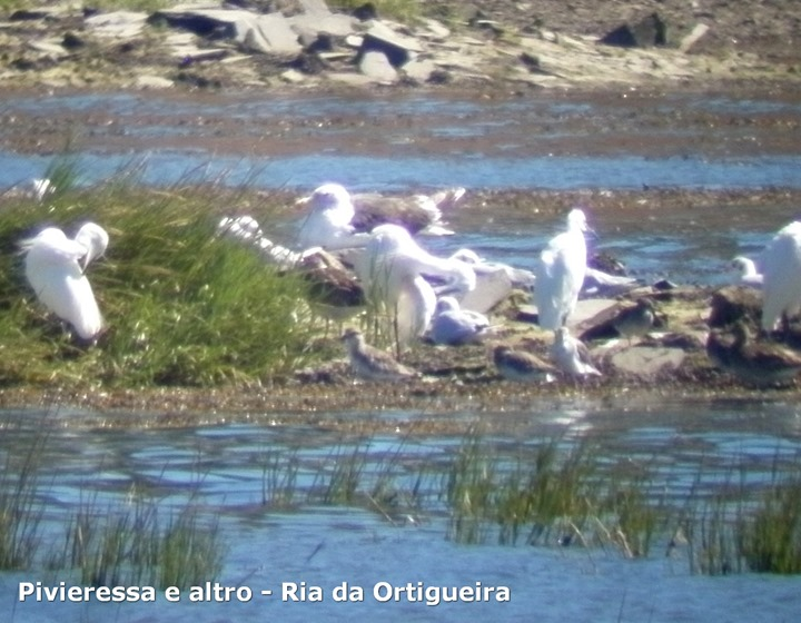 Pivieressa e altro - Ria da Ortigueira