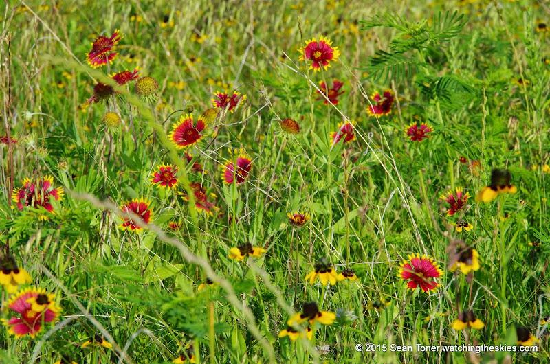 05-26-14 Texas Wildflowers - IMGP1391.JPG