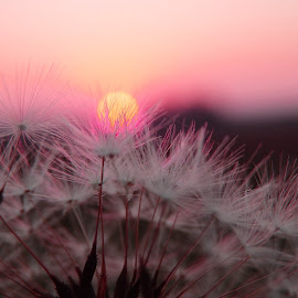 Blowball  by Valentina Masten - Nature Up Close Other Natural Objects