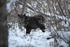 2009/3/29 カモシカの森(木登りの森)前の写真を撮った直後に、50m離れた所にいた個体。過去に下唇を切ったのか、深い切れ込みがある固体を確認して「唇爺」と名づけた。雄雌は不明だが、角輪の見える範囲では、老齢でかつ出産の経験が無い様に見えるので暫定的に雄と仮定している。その後も何度か、ビッグママ/ニャンニャン母子と同じ狭いエリアのこの森に2回出没。唇爺が雄であり、ビッグママの伴侶の可能性が出てきた。