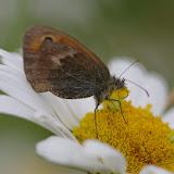 Coenonympha pamphilus (LINNAEUS, 1758). Les Hautes-Lisières (Rouvres, 28), 11 juin 2012. Photo : J.-M. Gayman