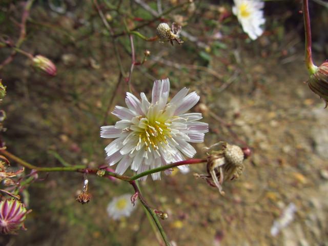 a delicate little daisy sort
