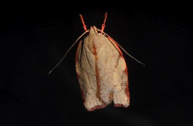 Xyloryctidae : Tymbophora peltastis MEYRICK, 1890 (?). Umina Beach (N. S. W., Australie), 26 septembre 2011. Photo : Barbara Kedzierski